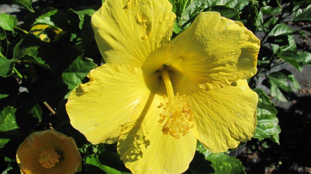 Hibiscus standard yellow braided hibiscus tree yellow hibiscus dwarf yellow fort myers Hibiscus Bush Fort Myers Yellow 7 Gallon