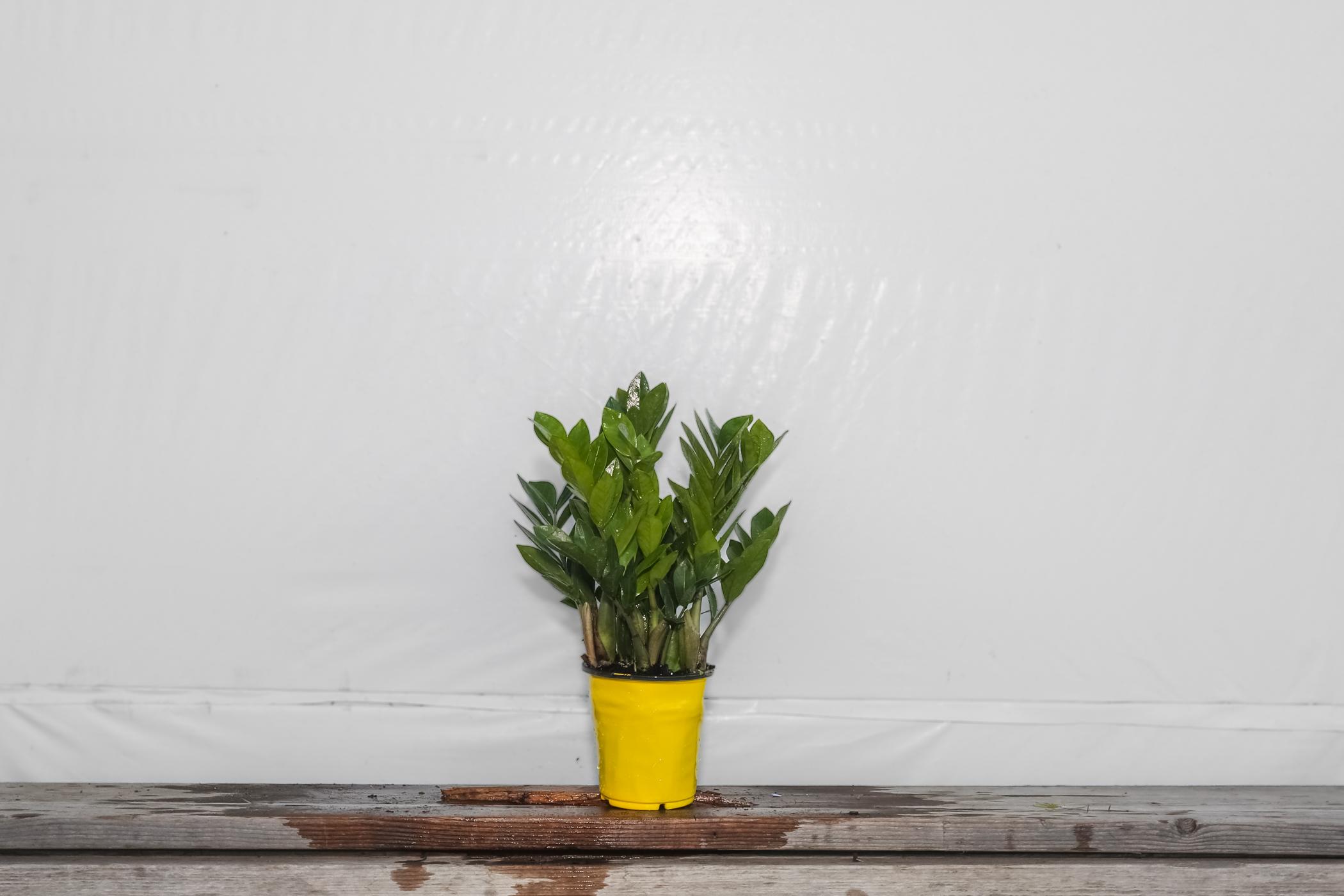 ZZ Plant Zamioculcas Zamiifolia 1 Gallon