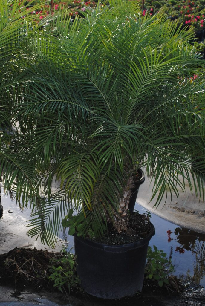 roebelenii Palm tree