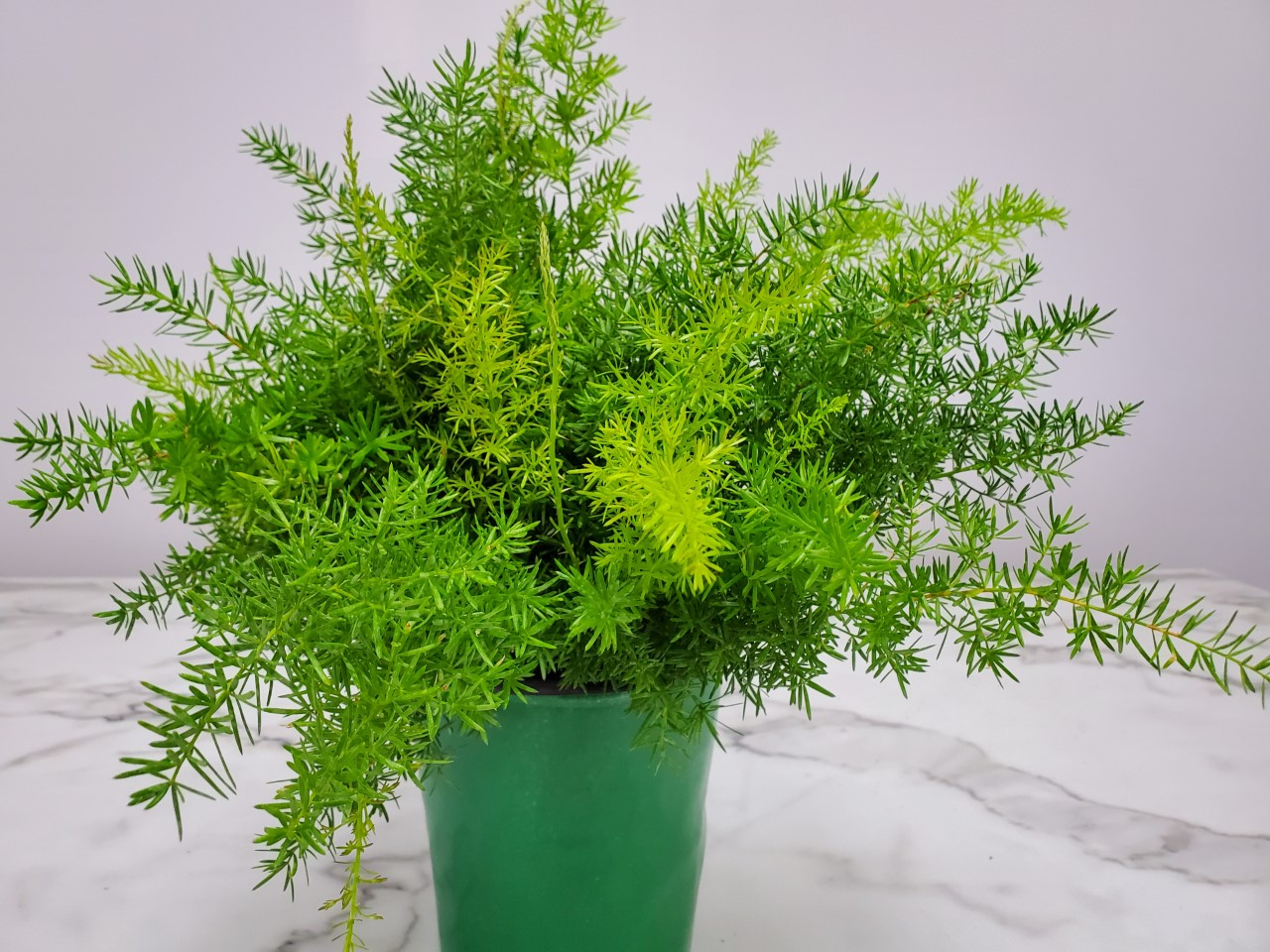 Sprengeri Asparagus Fern 1 Gallon