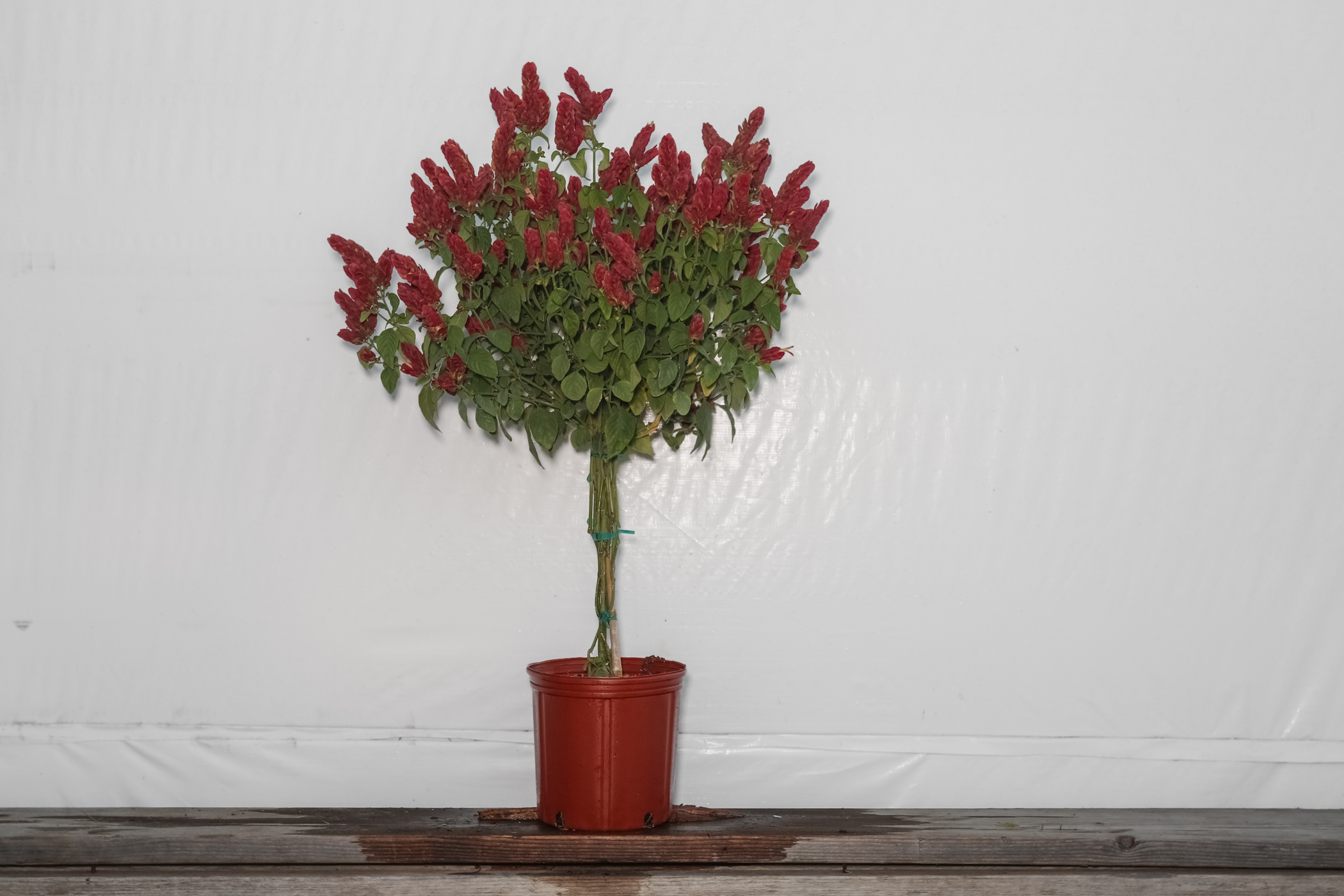 Braided Shrimp Tree Red 3 Gallon