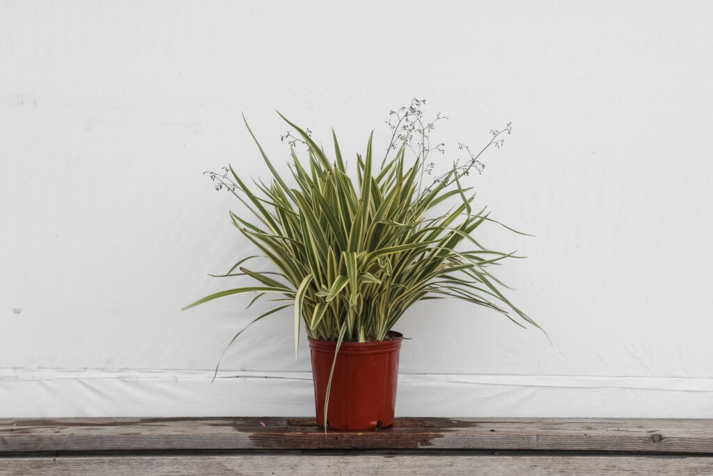 Dianella Flax Lily