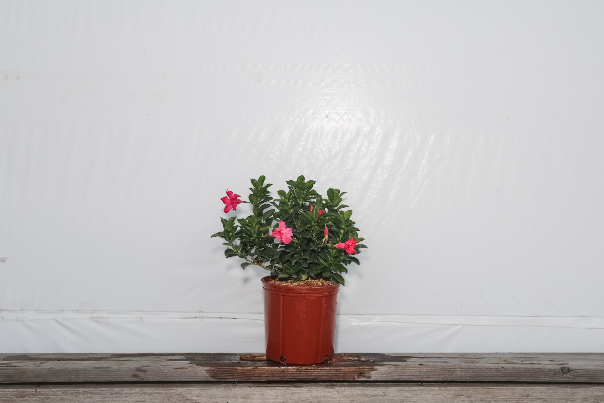 Dipladenia Bush Pink Original 3 Gallon