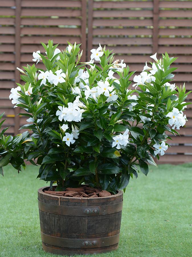 Dipladenia Bush White Sundenia 3 Gallon