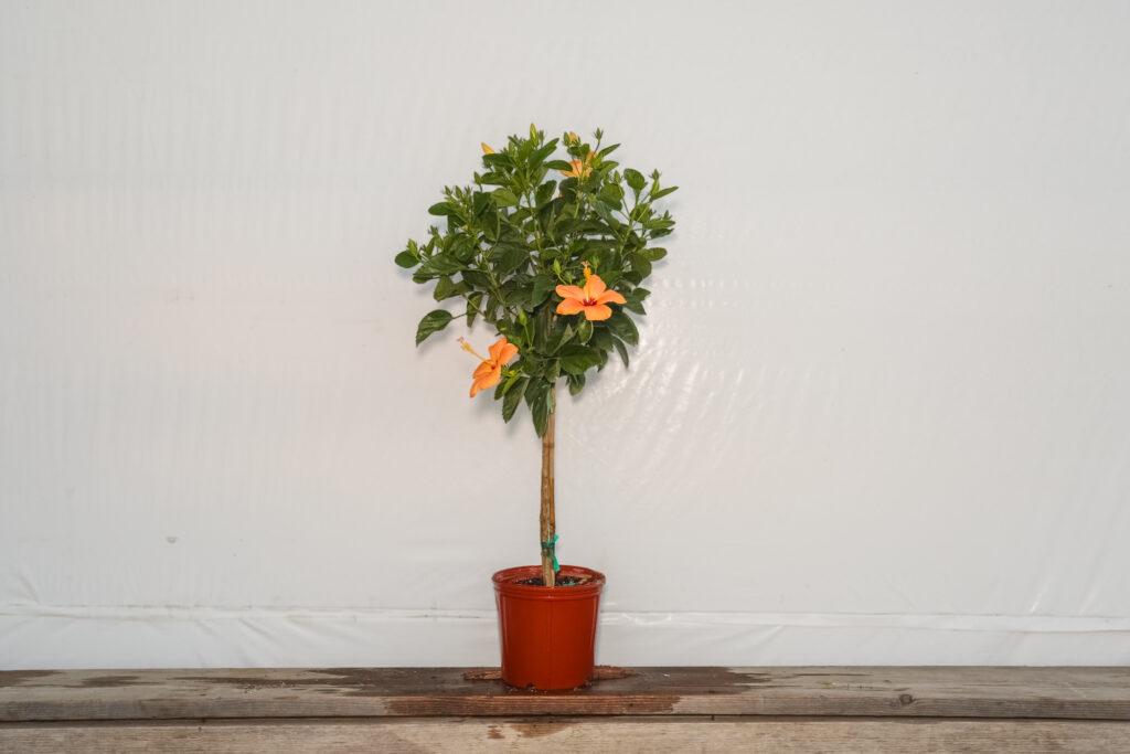 Hibiscus Standard Peach Single