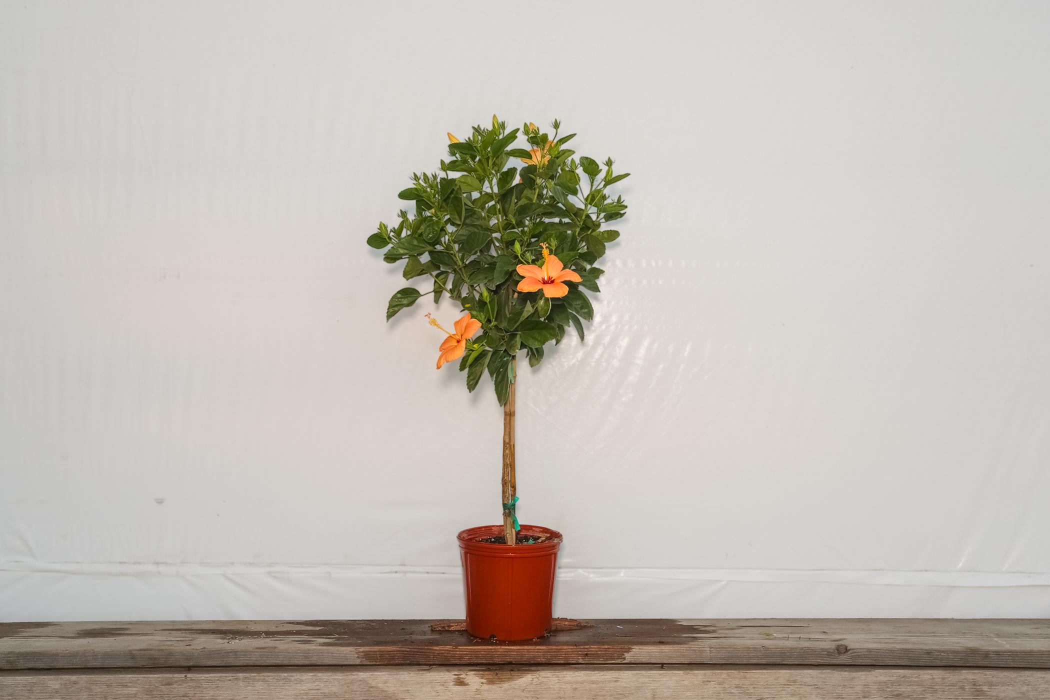 Hibiscus Standard Peach Single Flower Tree 3 Gallon