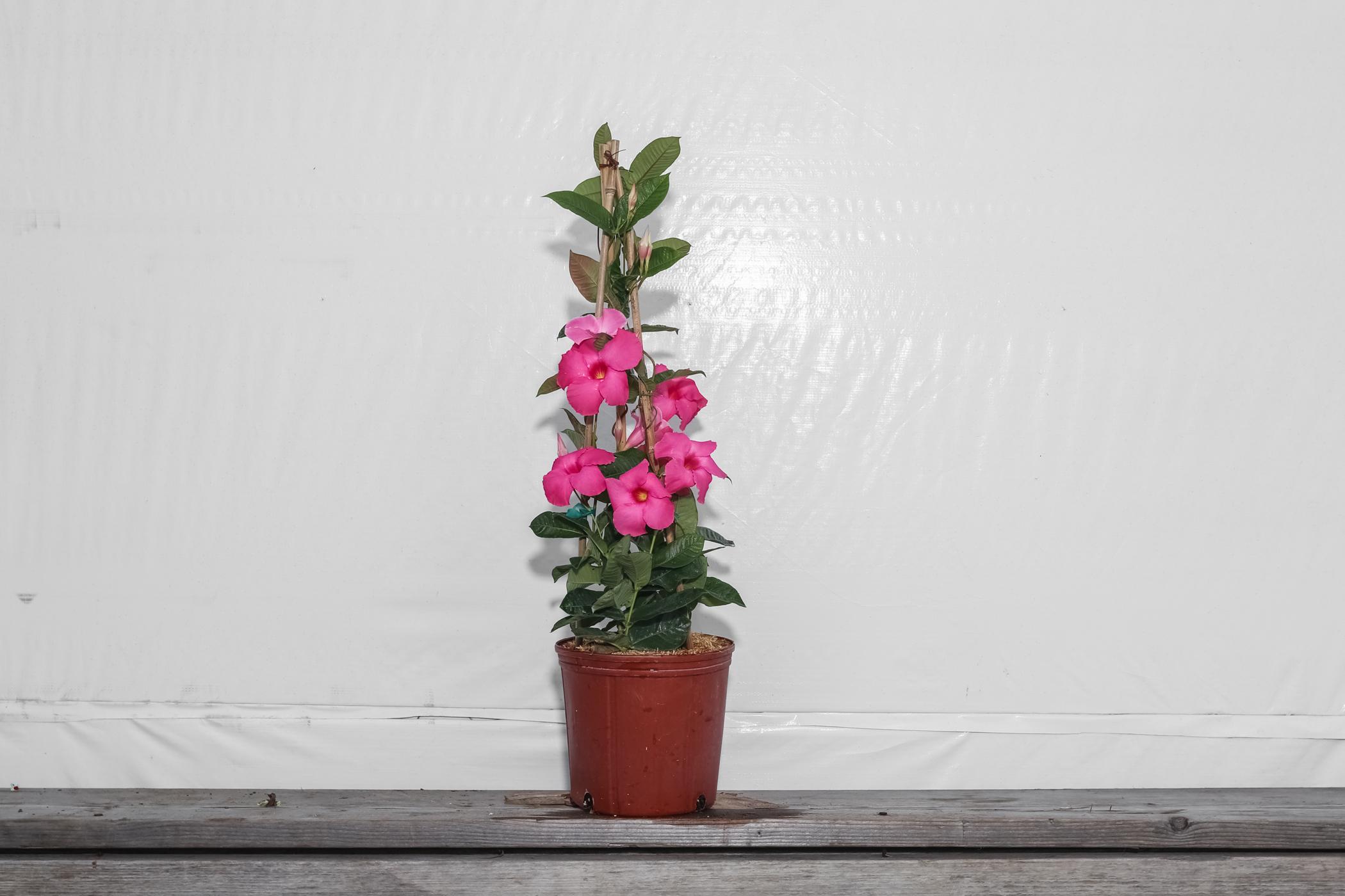 Mandevilla Trellis Pink Alice Du Pont 3 Gallon