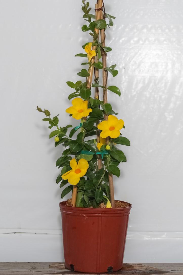 Mandevilla Yellow Summer Romance Hanging Basket