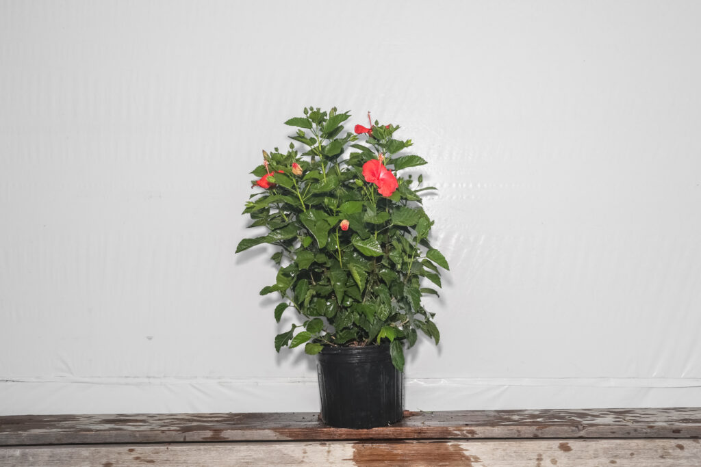 Red President Red Hibiscus Bush 7 Gallon