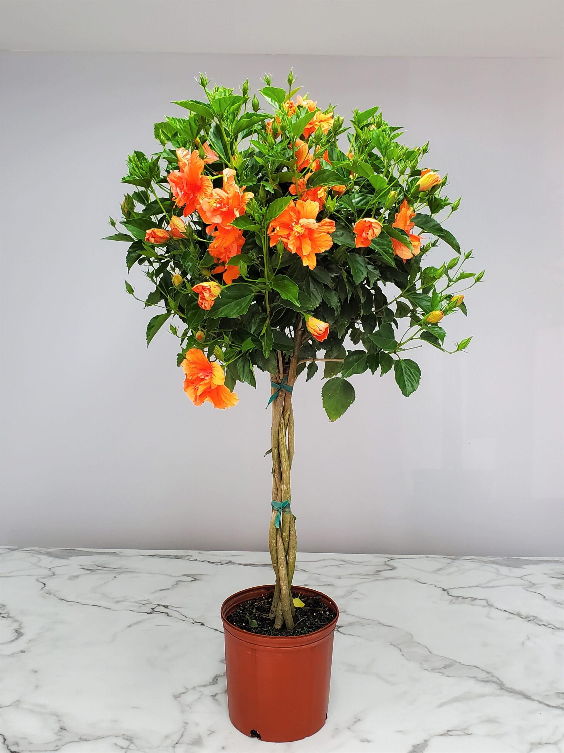 Braided Hibiscus Tree Peach Double Flower 3 Gallon