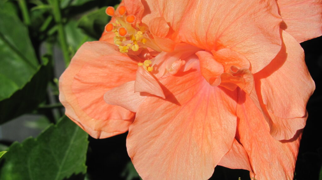 hibiscus dwarf peach double Hibiscus Bush Double Peach Hibiscus Standard Peach Double Braided Hibiscus Double Peach