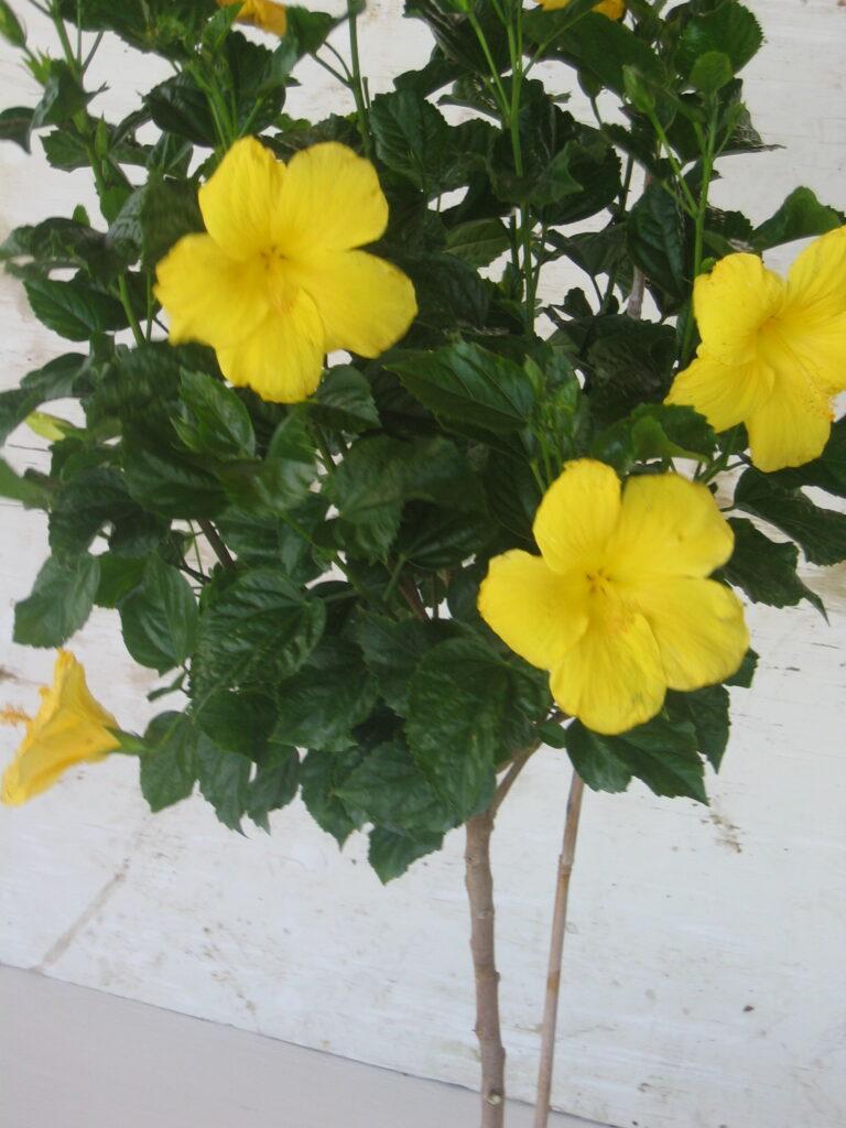 Hibiscus standard yellow