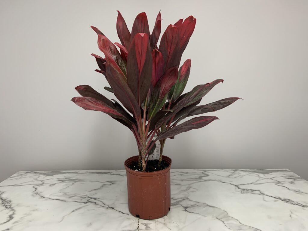 Hawaiian Ti Cordyline Plant