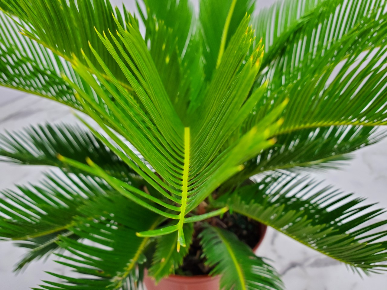 Sago Palm 7 Gallon