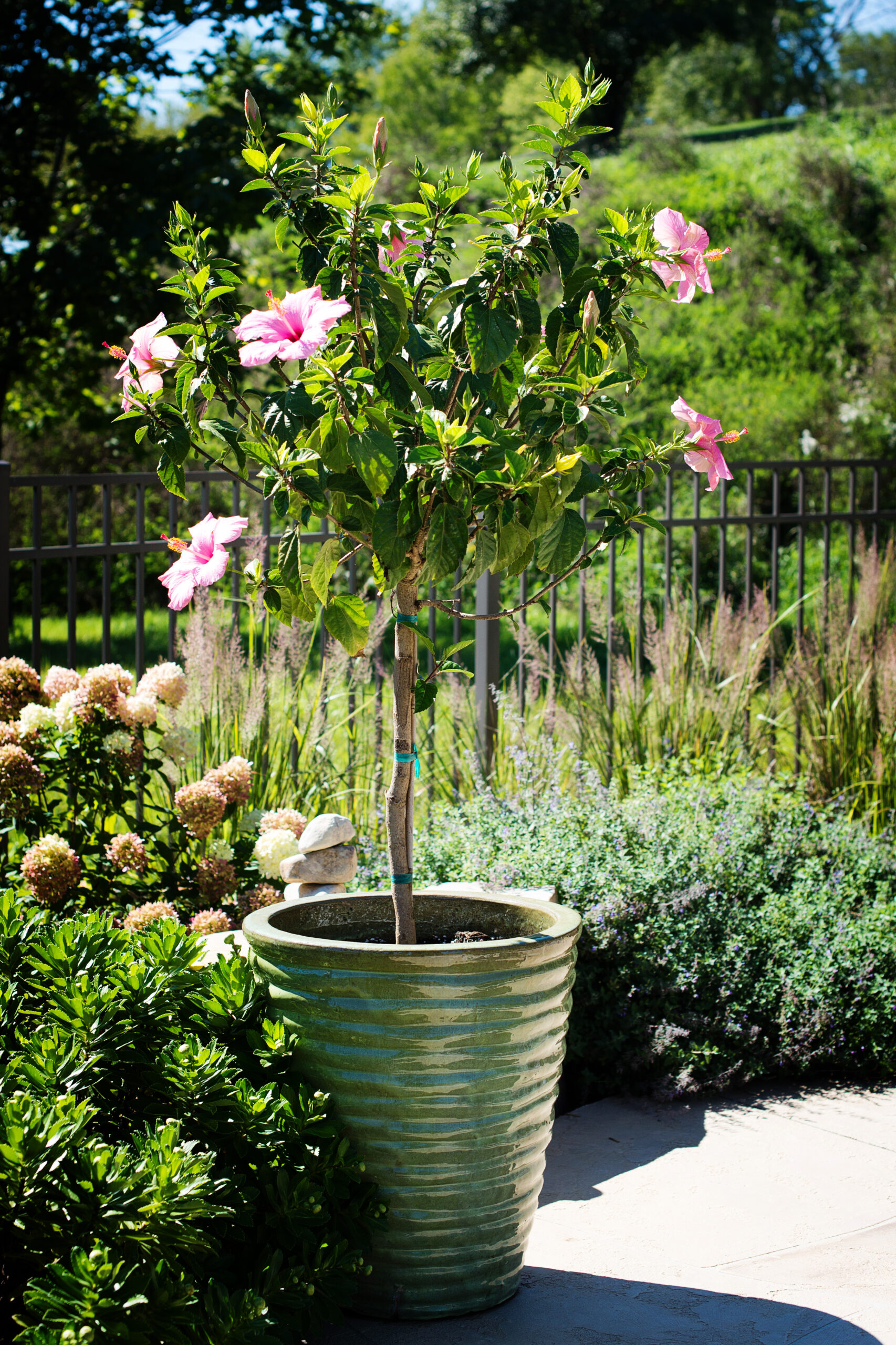 Hibiscus Standard Pink Seminole Tree 7 Gallon