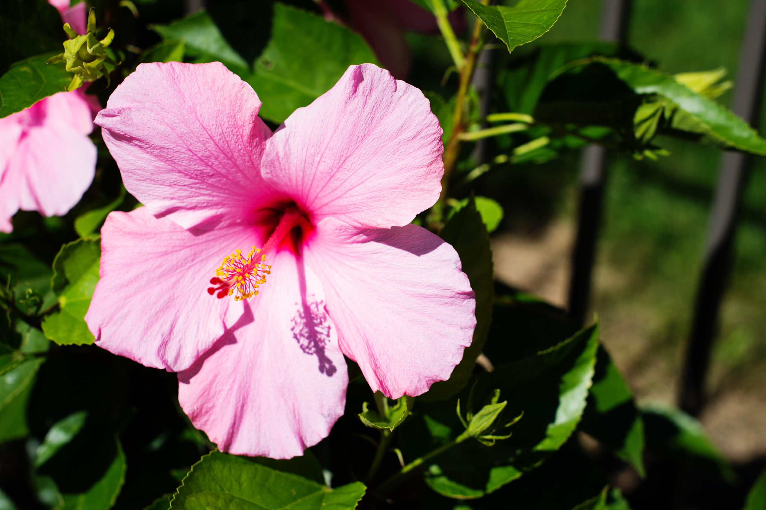 Hibiscus Bush Pink Seminole 7 Gallon