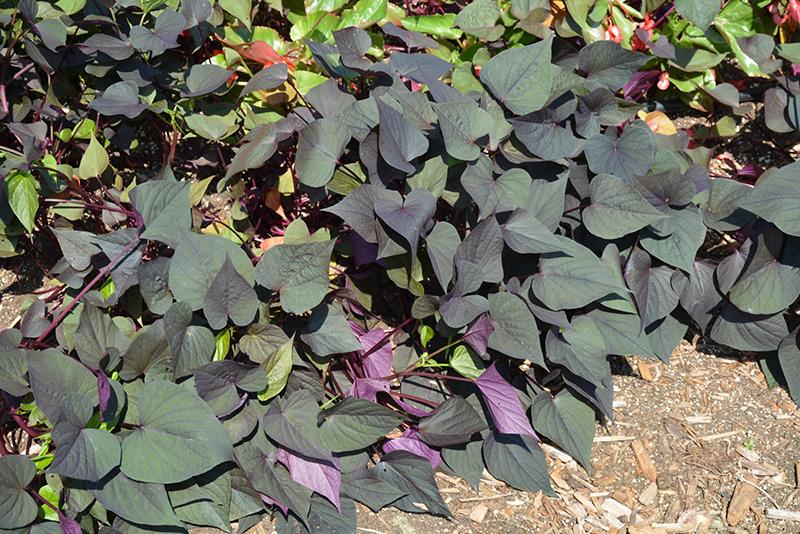 potato vine black