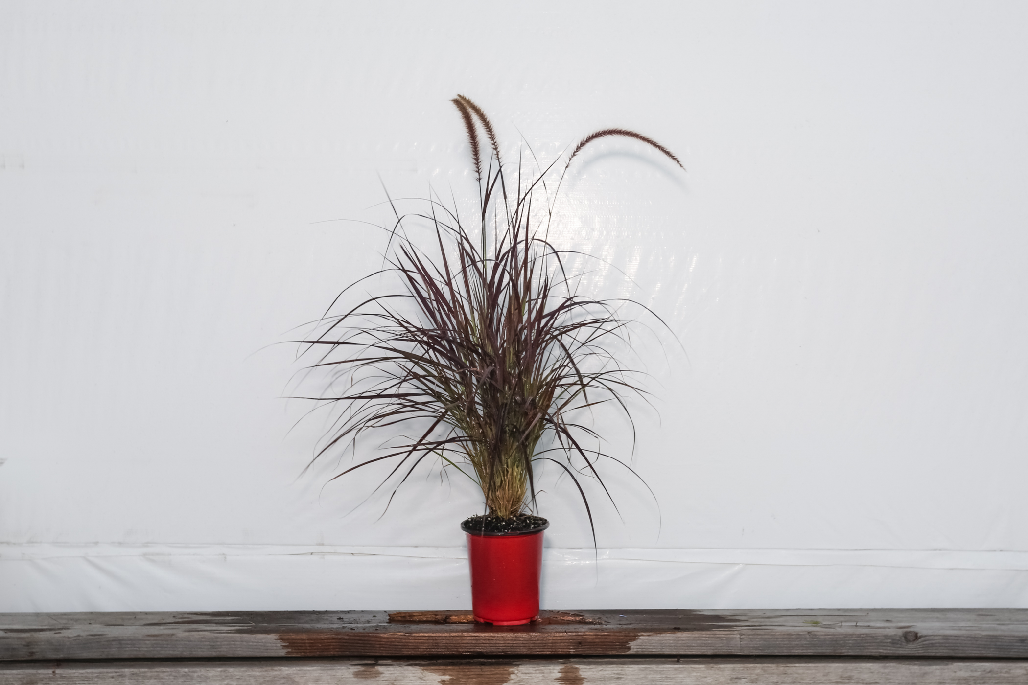 Red Fountain Grass 1 Gallon