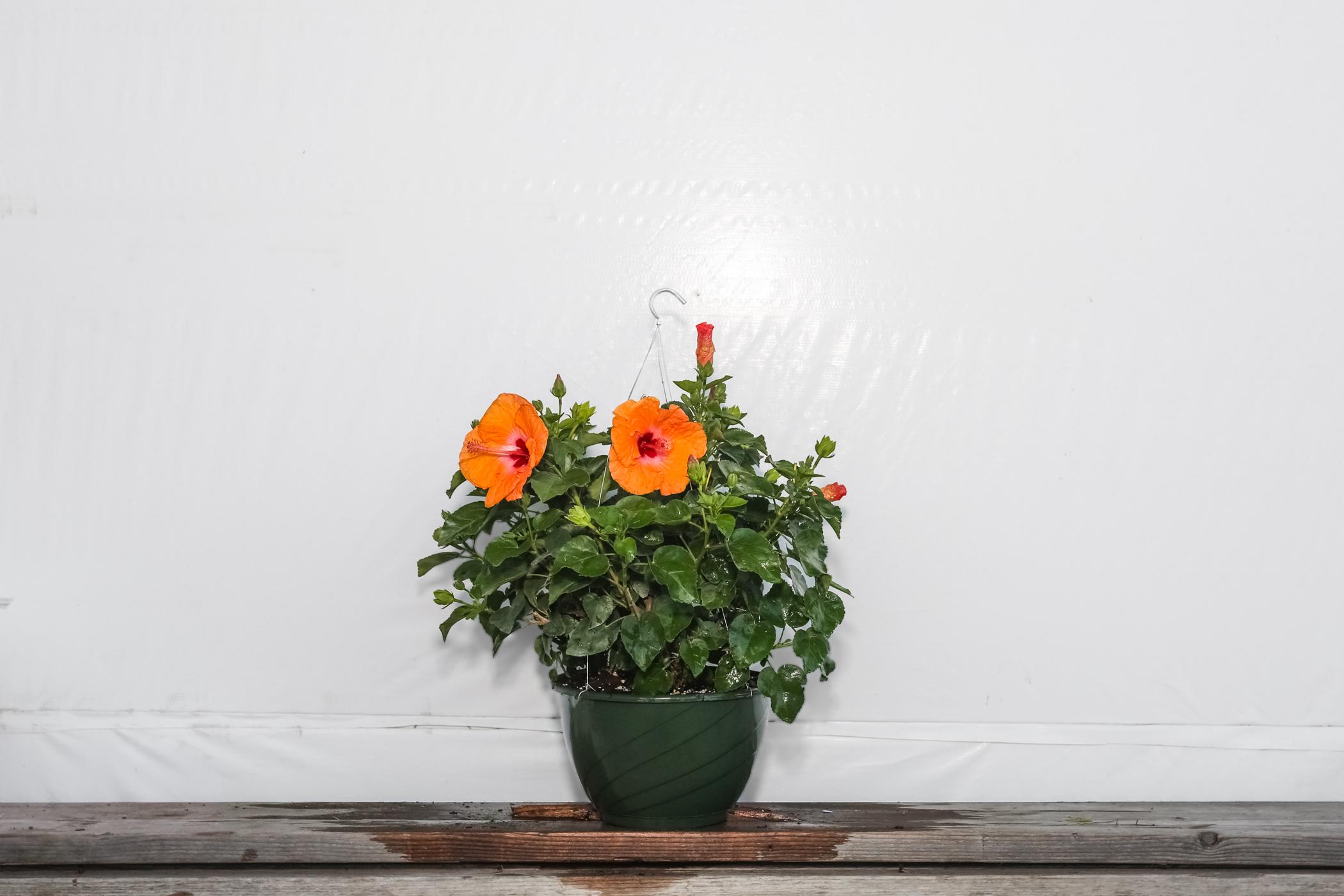 Yoder Dwarf Hibiscus Orange Mandarin Wind Hanging Basket