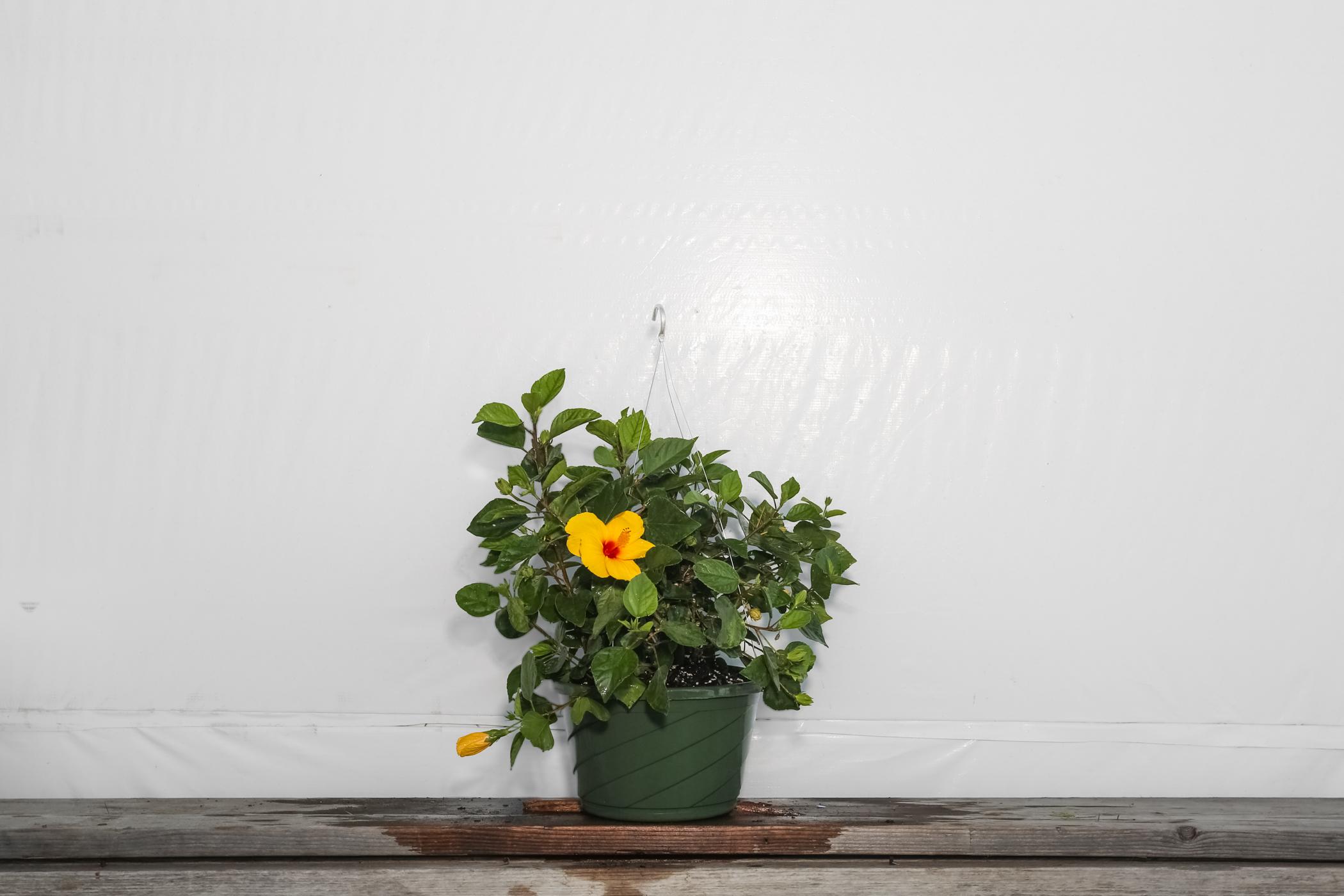 Yoder Dwarf Hibiscus Yellow Sunny Wind Hanging Basket