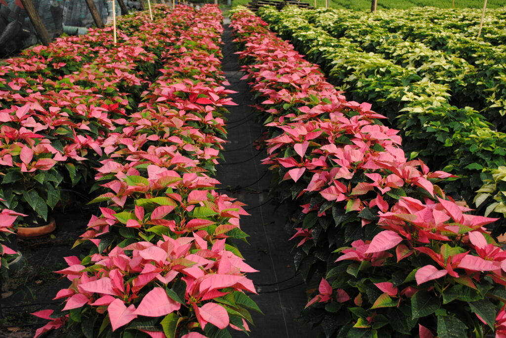 Freedom Pink and White Poinsettias