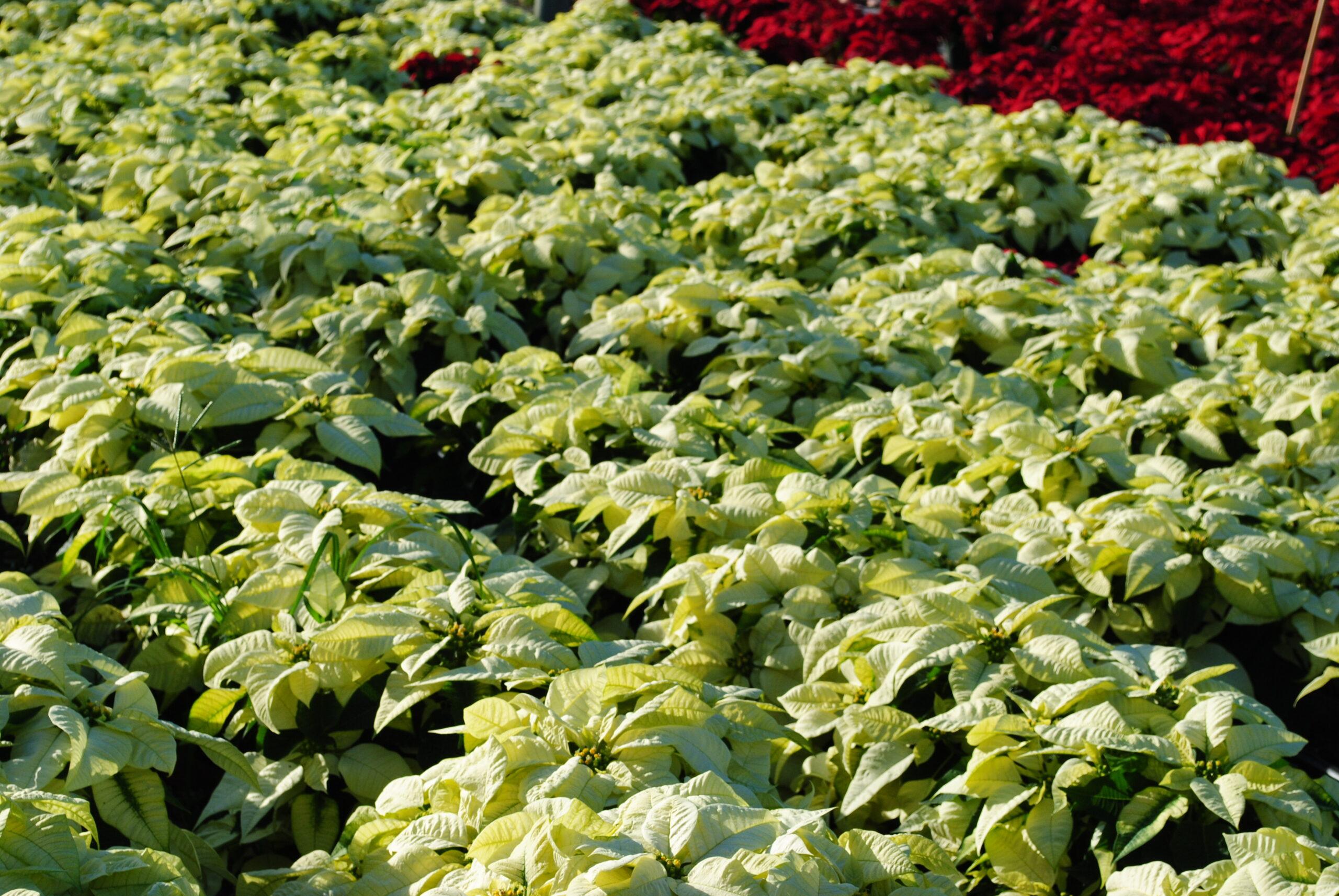 Freedom White Poinsettias 2 Gallon