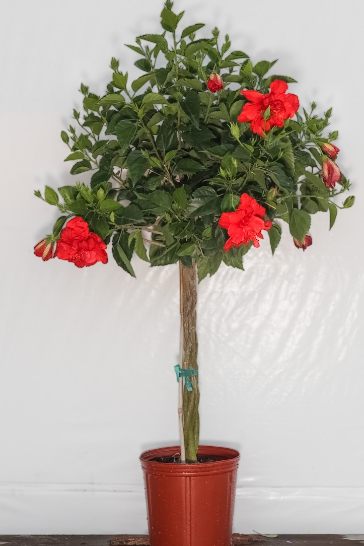 Braided Hibiscus Red Double Flower Tree 3 Gallon