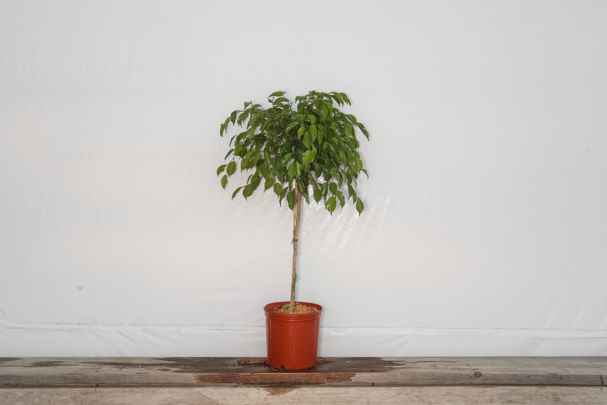 Ficus Wintergreen Standard