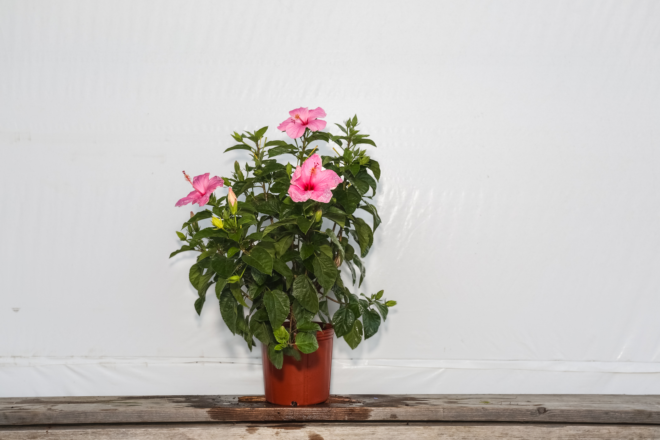 Hibiscus Bush Seminole Pink 3 Gallon