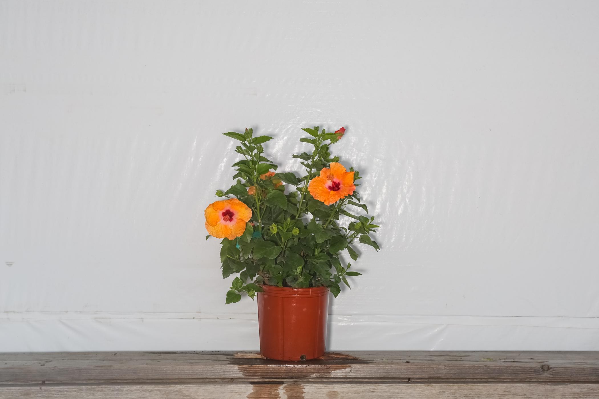 Yoder Dwarf Hibiscus Bush Orange Mandarin Wind 3 Gallon