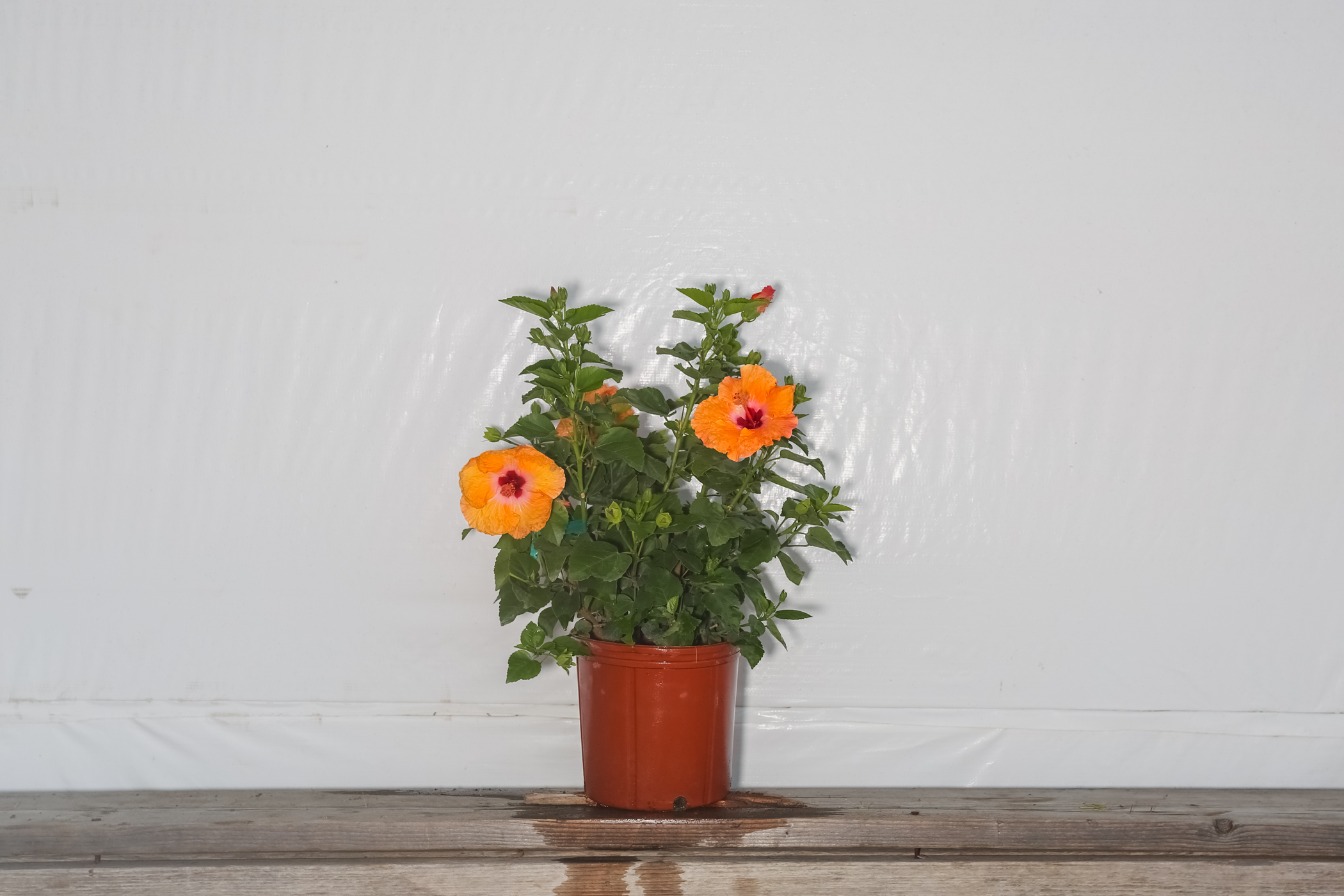 Yoder Dwarf Hibiscus Bush Orange Mandarin Wind 3 Gallon