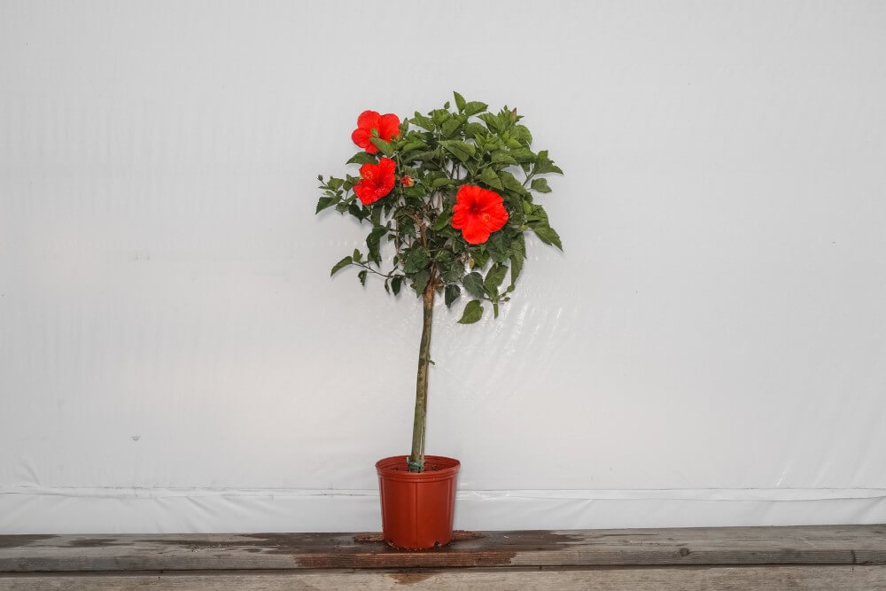 Red President Standard Hibiscus Tree