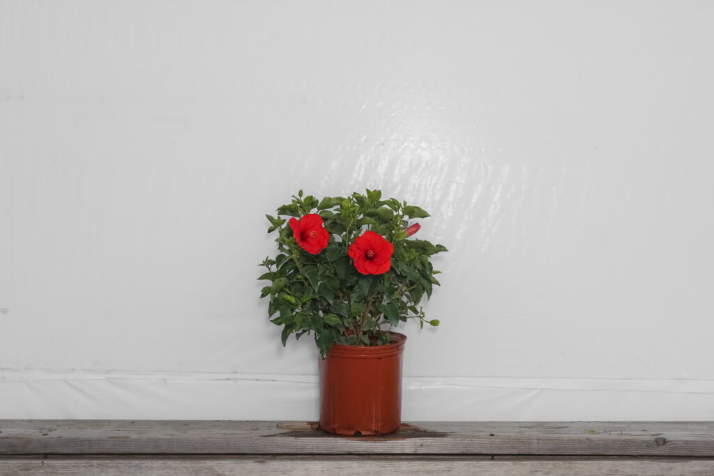 Yoder Dwarf Hibiscus Bush Red
