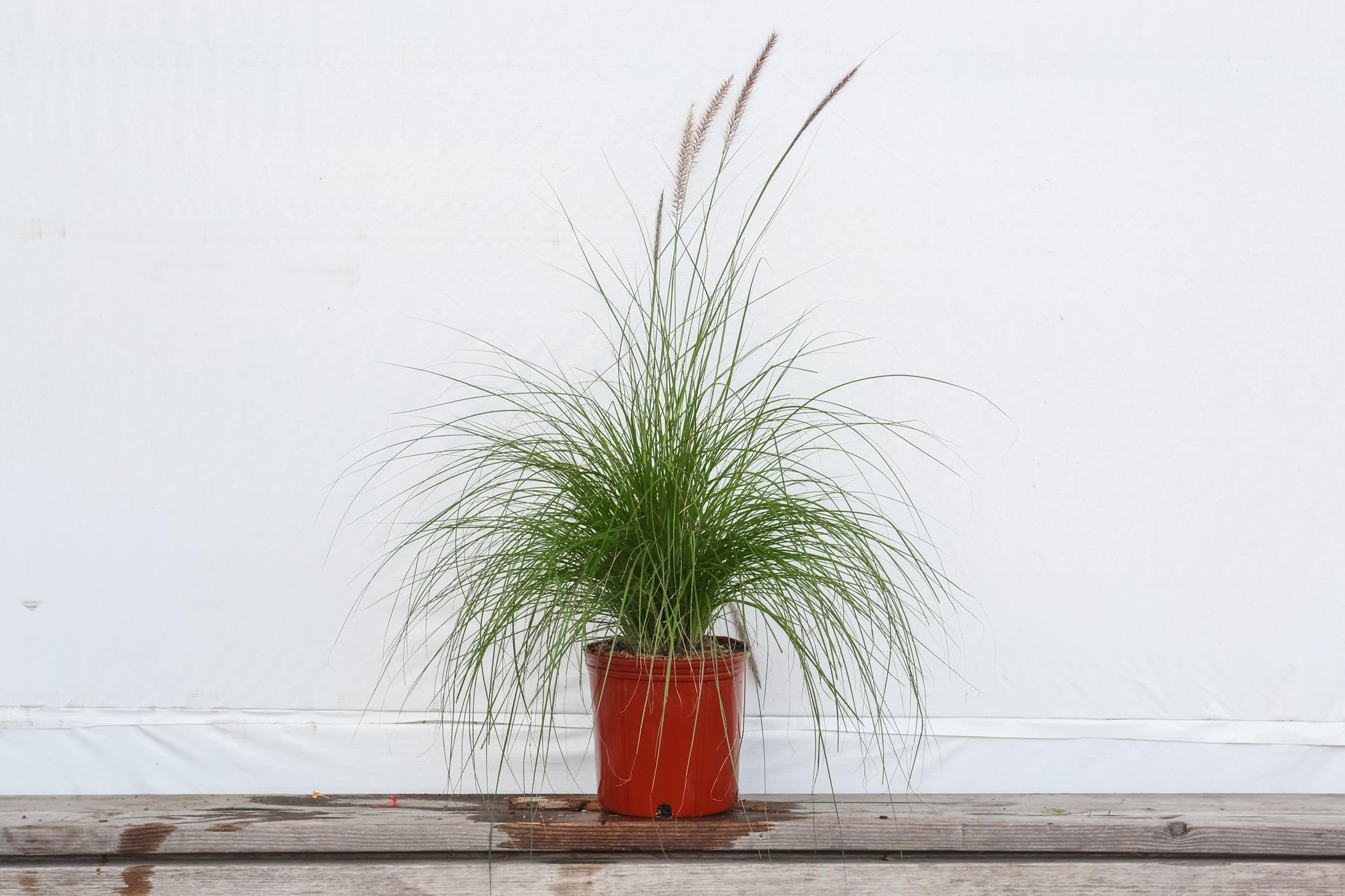 White Fountain Grass 3 Gallon
