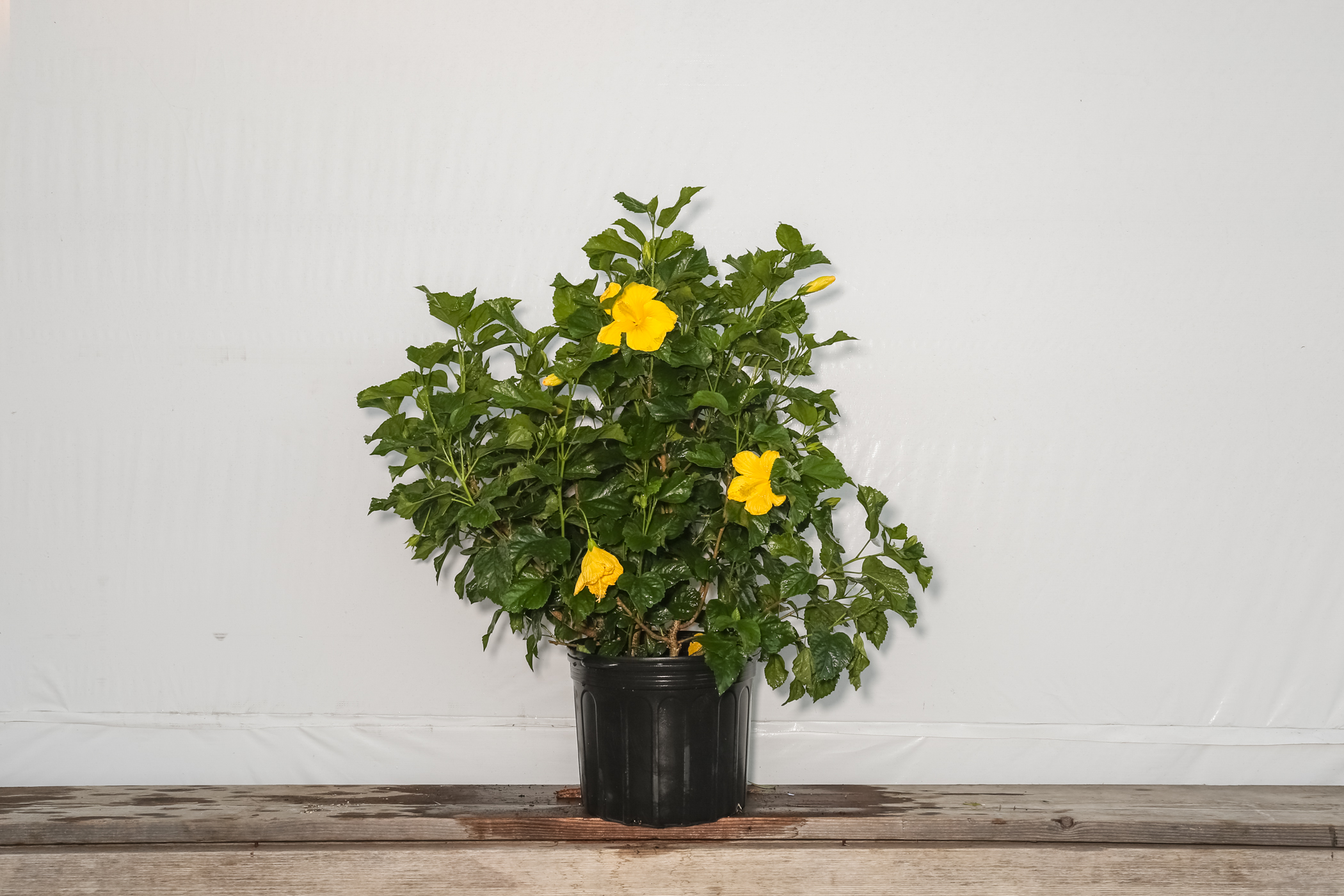 Hibiscus Bush Fort Myers Yellow 7 Gallon