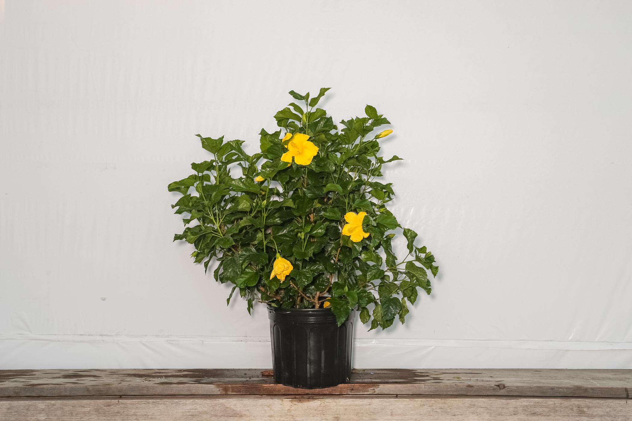 Hibiscus Bush Fort Myers Yellow 7 Gallon