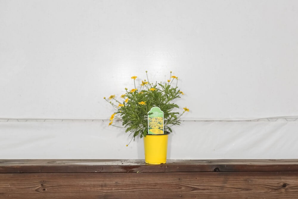 California Bush Daisy 1 Gallon