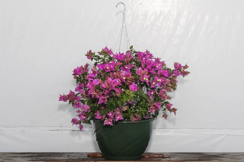 Bougainvillea Purple Hanging Basket