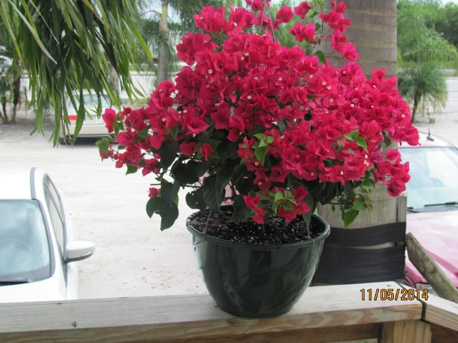 Bougainvillea Red Hanging Basket