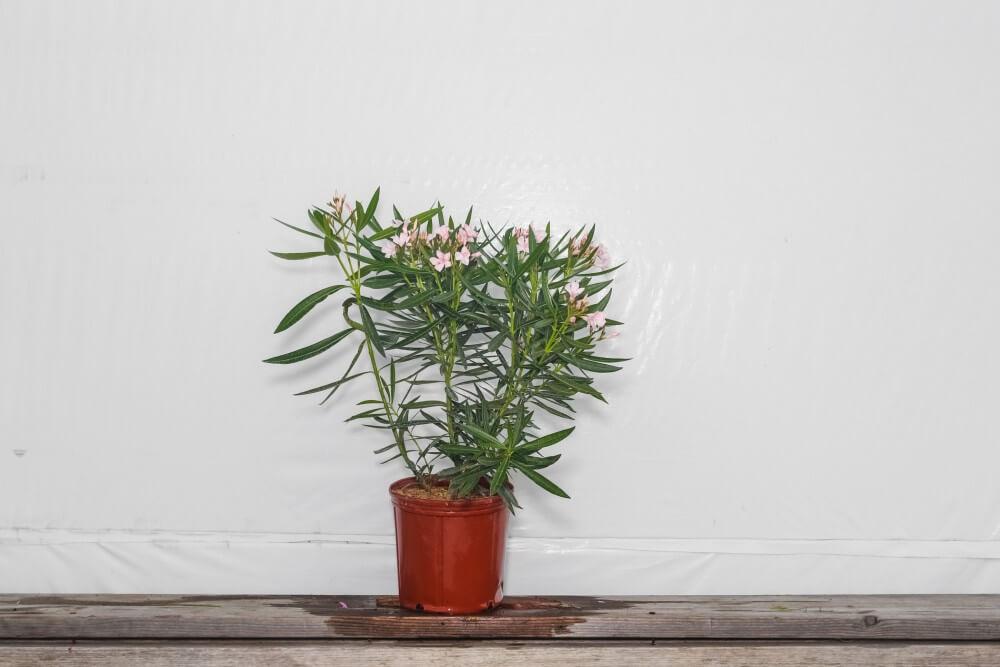 Oleander Bush Petite Pink