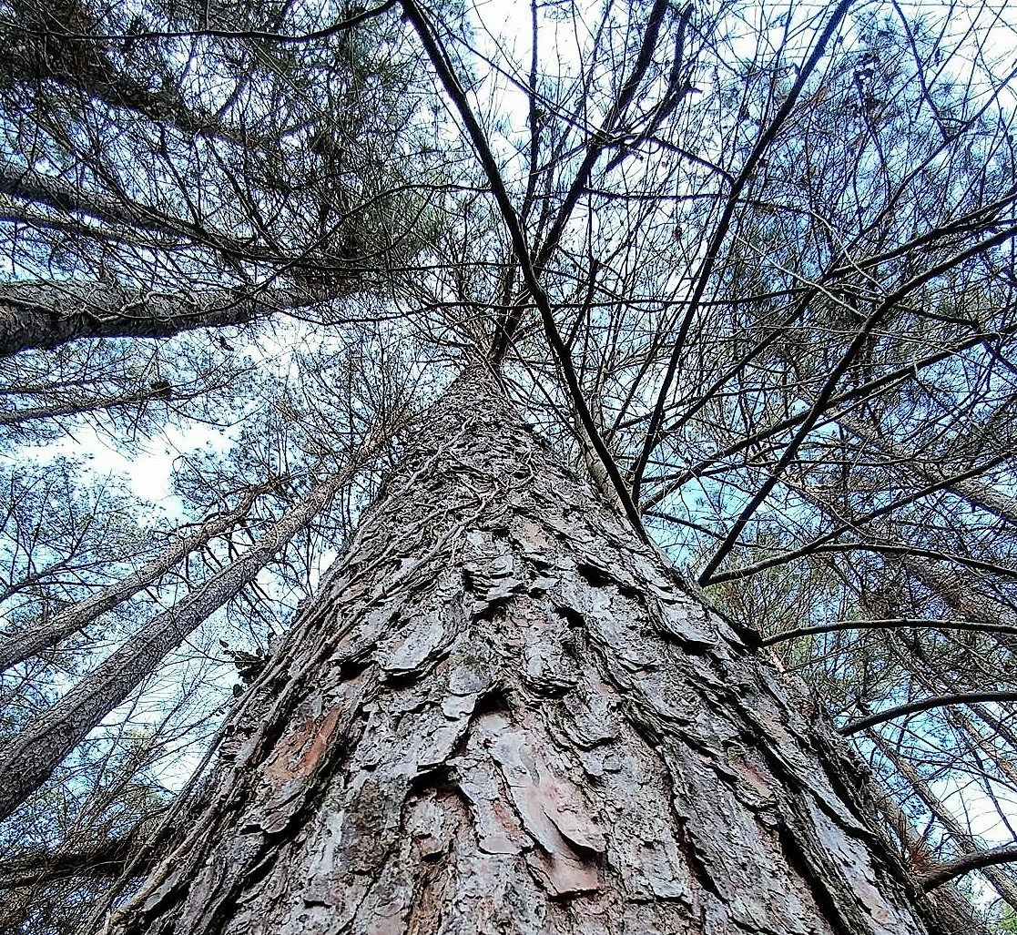 Pine Tree Looking Up