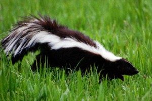 skunk-smell-remover