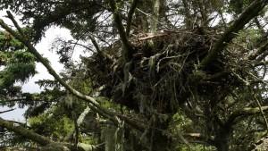 A large eagle's nest sits in a Sitka spruce tree on Five Finger Lighthouse island in SE Alaska.