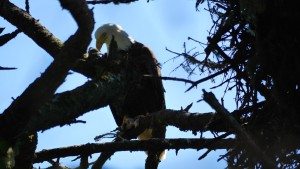 An eagle sits in the tree next to its nest on Five Finger Lighthouse Island. Did it just pull this from the nest? You can see the bones of one fish and flesh from another in it's talons.