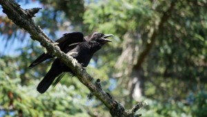 Crow calling on branch at Five Finger Lighthouse Island.