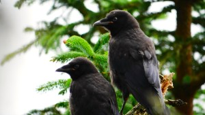 Two Crows sitting on a branch at Five Finger Lighthouse Island. Photo by Paul Sharpe