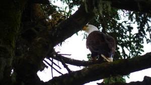 Eagle looks into nest on Five Finger Lighthouse Island, Alaska.