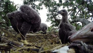 Two eaglets in the nest at Fiver Finger Lighthouse island.