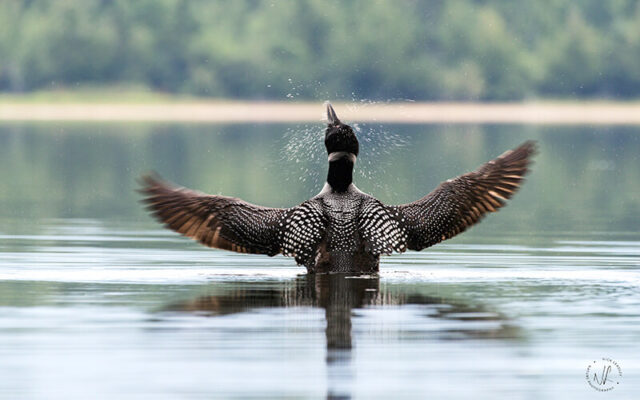 Common loon, photograph by Nick Leadley Nature Photographer
