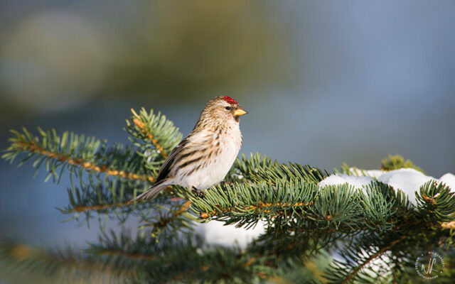 Common Redpoll, photograph by Nick Leadley Nature Photographer.
